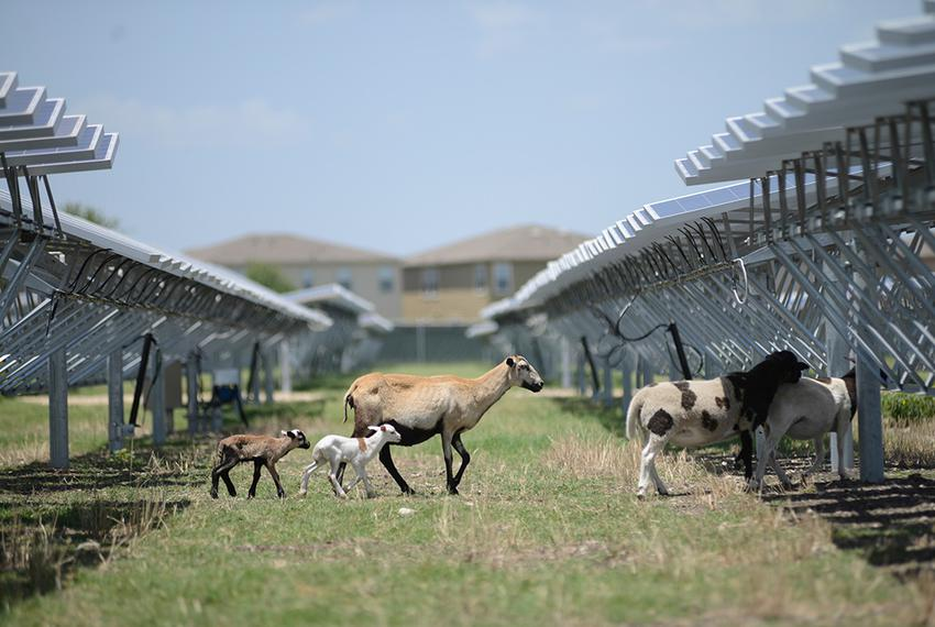 Sheep wander between rows of solar panels at at a 4.4-megawatt solar farm in northeast San Antonio. OCI Solar Power, the far…