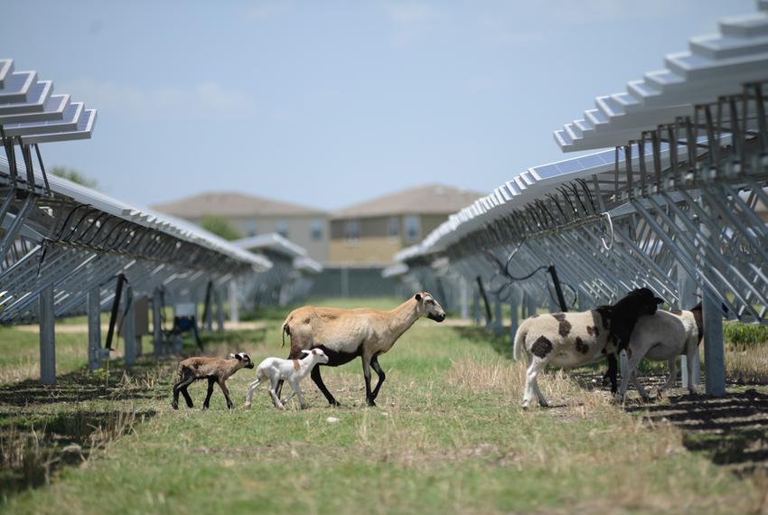 Sheep serve as natural lawnmowers at a 4.4-megawatt solar farm in northeast San Antonio on July 8, 2014. The animals' voraci…