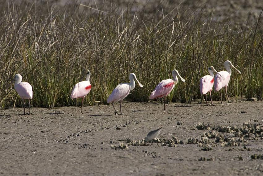 Roseate spoonbills stand in a Texas marsh on March 3, 2009. The distinctive pink birds are a mainstay on the mid-Gulf coastl…