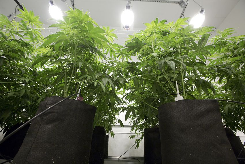 Marijuana plants cultivated at Compassionate Cultivation, a home-grown medical cannabis company in Austin that serves patients throughout Texas, on Jan. 19, 2017.