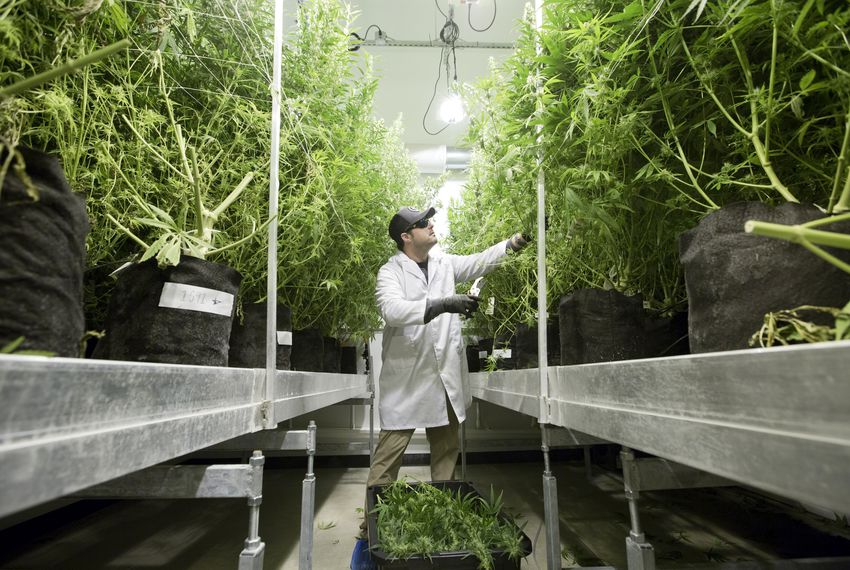 Michael Rubin is director of Compassionate Cultivation, a home-grown medical cannabis company.