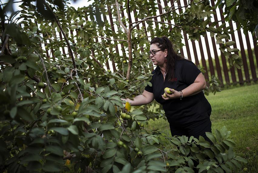Melissa Solis picks guavas behind her family home on Oklahoma Avenue in Brownsville in August 2017. The federal government...