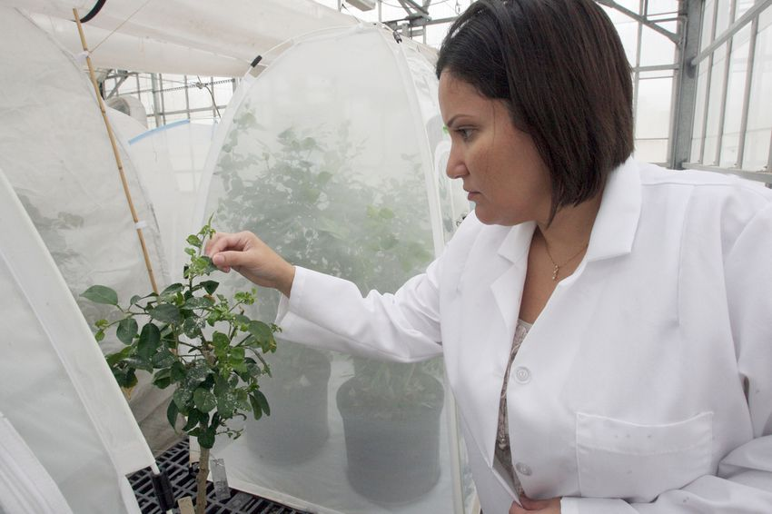 Deanna Chapa, a molecular biologist, researches the psyllid disease on young citrus plants in a greenhouse on Tuesday, Oct. 18, 2011, at the Kika de la Garza Subtropical Research Center in Weslaco, Texas. The center faces imminent closure due to federal budget cuts.