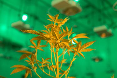 Plants of marijuana at Compassionate Cultivation, a home-grown medical cannabis company in Austin, Texas that serves patients throughout Texas  on January 19, 2017