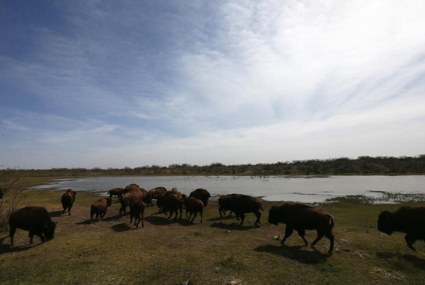 Southern plains bison from the Goodnight heard are raised for meat on Hugh Fitzsimons's SHAPE Ranch in Carrizo Springs, TX, …
