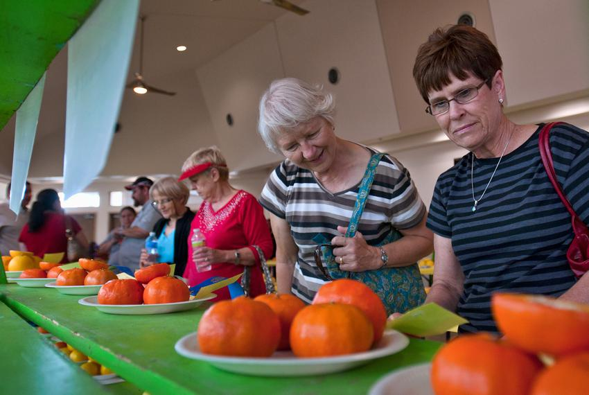 L to R:  Ruth Sagehorn and Virginia Schuerman look at entries in the citrus fruit exhibit at the Citrus Fiesta in Mission on…