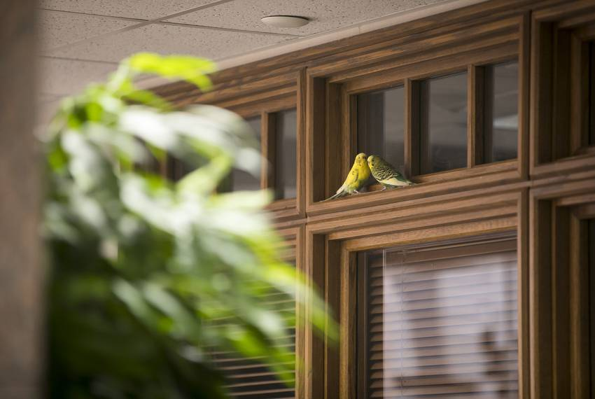 A pair of parakeets perch on moulding on the third floor of the Moore/Connally Building in College Station on Friday, Aug....