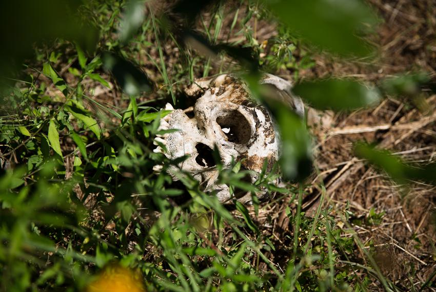 Researchers study the decay of human corpses at the 26-acre outdoor human decomposition laboratory run by the Forensic Anthr…