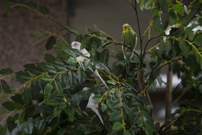 Parakeets hang out in the birds' favorite tree in the Moore/Connally Building in College Station on Friday, Aug. 9, 2019. People have tied treats and toys for the birds on several of the trees in the building.