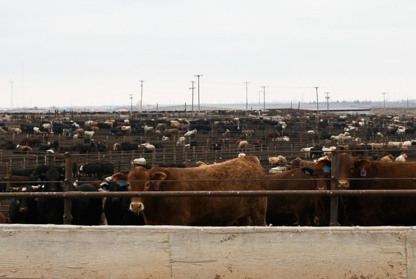 Thousands of cattle spend their final months at feed yards like this one, located in Hale Center.