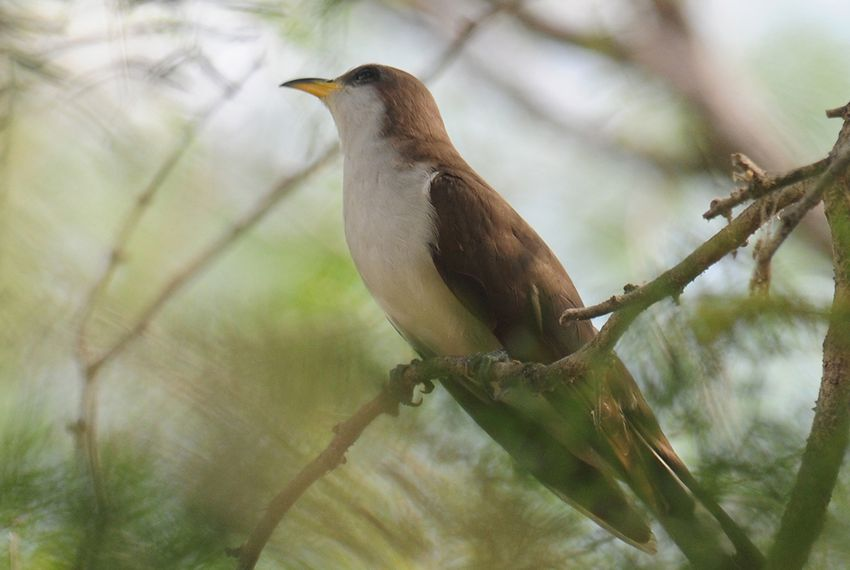 A Yellow-billed Cuckoo in Salineno, TX