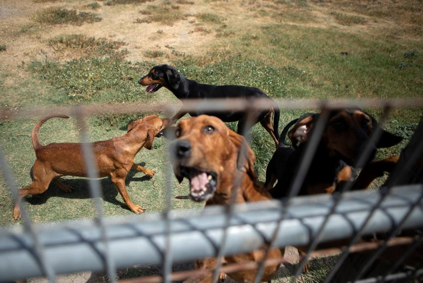 Bloodhounds are held in a pen in Refugio on Aug. 21, 2019.