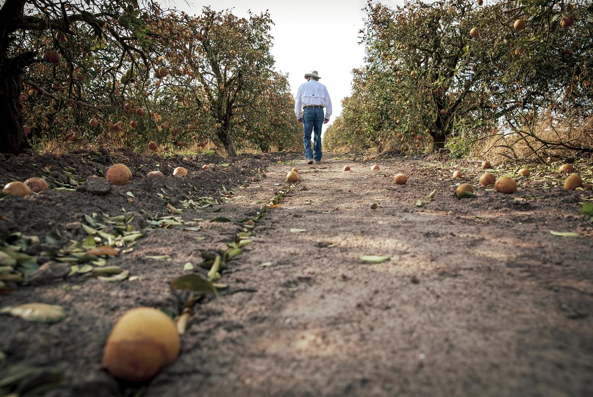 President of Texas Citrus Mutual Dale Murden inspects the damaged fruit effected by the recent freeze. Feb. 24, 2021.