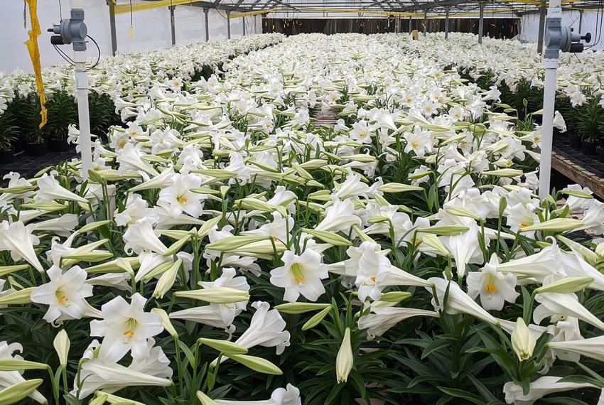 Thousands of Easter lilies in Don Darby's greenhouse in East Texas.