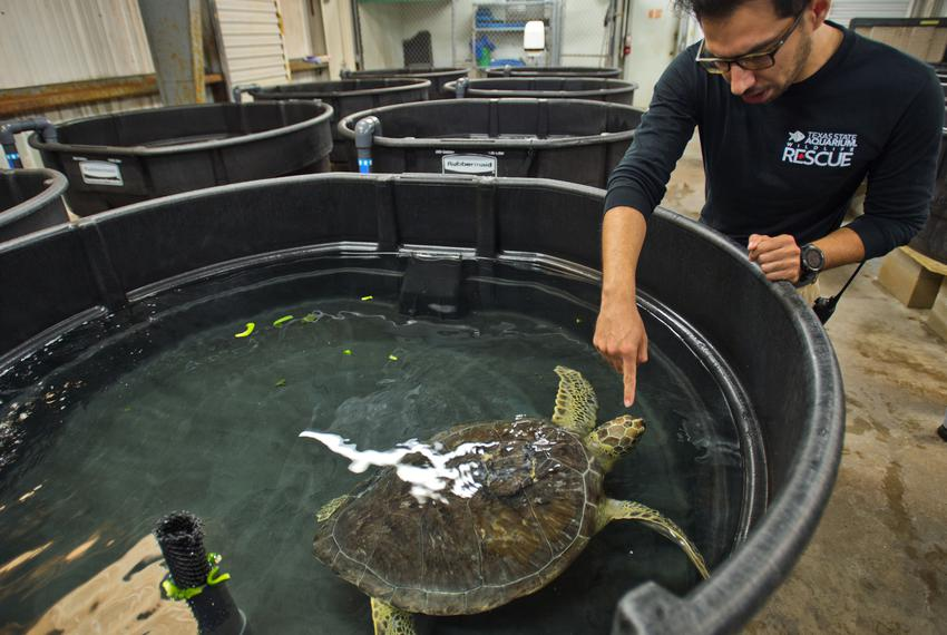 Senior Wildlife Care Specialist Rico Olvera discusses a green sea turtle whose shell was injured by a boat propeller blade a…
