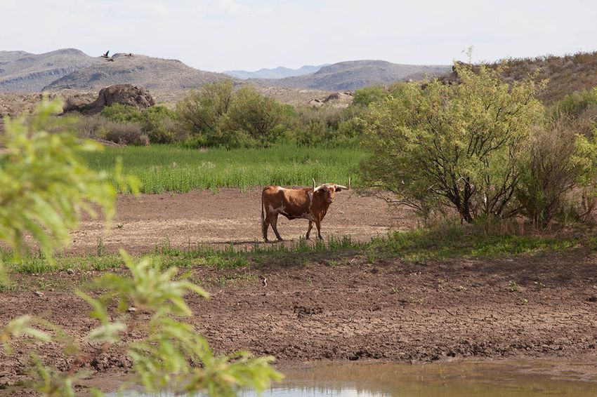 A longhorn stops at a water source on the 311,000-acre Big Bend State Park Ranch in the Chihuahuan Desert of West Texas. Texas Parks and Wildlife Department has recently sold off about two-thirds of the herd to build a smaller pasture to display the remaining animals.