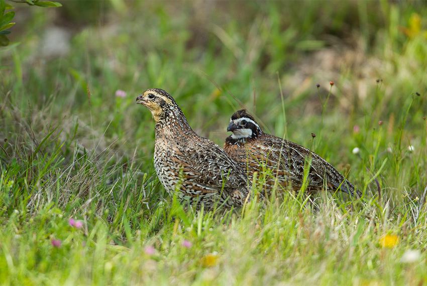 Bobwhite quail pair at Powderhorn Ranch.