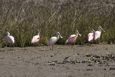Roseate spoonbills stand in a Texas marsh on March 3, 2009. The distinctive pink birds are a mainstay on the mid-Gulf coastline.